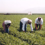Migrant field workers.
